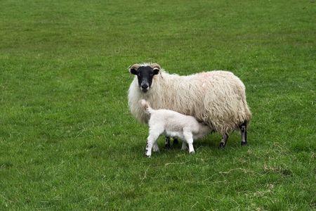 ewe: Scottish blackface ewe with suckling lamb.
