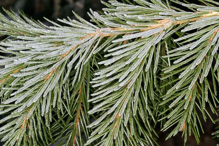 bough: Close-up of a spruce bough, covered in frost. Stock Photo