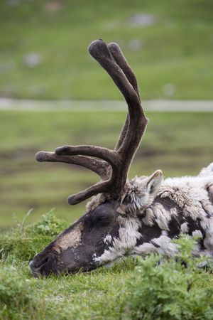 snoozing: Moulting reindeer snoozing in the sun. Stock Photo
