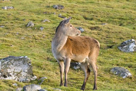 hind: Red deer hind in the Scottish highlands Stock Photo