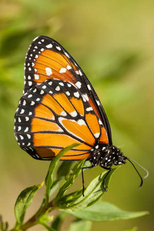 Monarch butterfly on green background