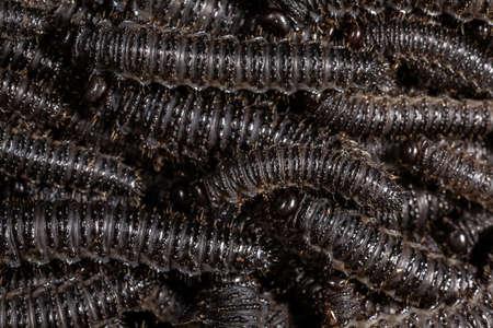 Larvae of pergid sawflies - Perreyia lepida; Banco de Imagens