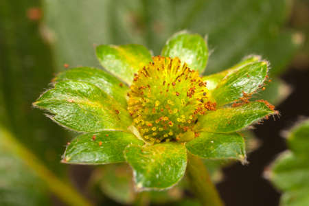 Garden Strawberry flower without petals flowers and green leaves - young green fruit Imagens