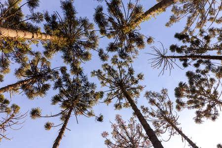 Araucaria angustifolia treetops seen from below - ants eye