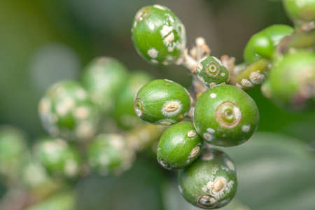 Coffee bean green fruits closeup with cochineal plague - not mature - Coffea arabica