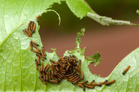 Dione juno caterpillar on passionfruit leaf