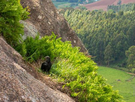 Black Vulture Coragyps atratus on rock with far background