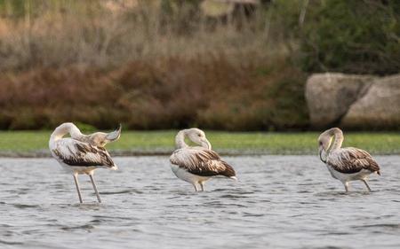 camargue: Young Flamingos Stock Photo