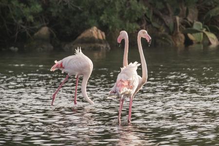 camargue: Flamingos Stock Photo