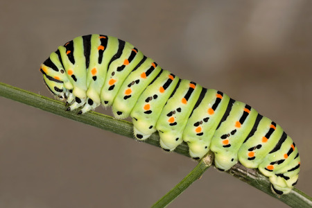 macaone: Beautiful caterpillar of a Macaone Butterfly