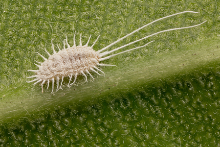 A parasitic insect, a Cochineal on a leaf