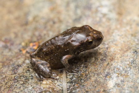 A tiny frog, 1cm in size, from recent metamorphosis, a few days, from tadpole to frog