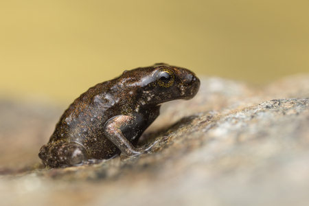 tiny frog: A tiny frog, 1cm in size, from recent metamorphosis, a few days, from tadpole to frog