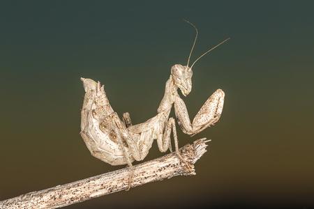 Portrati of a Mantis