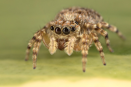 jumping spider: A beautiful jumping spider Stock Photo