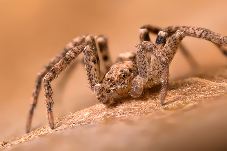 philodromus: A beautiful tiny spider - wide image is of 5mm Stock Photo
