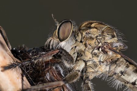 asilidae: A robber fly with prey macro portrait Stock Photo