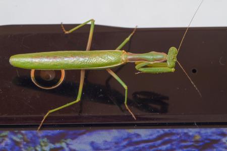 A close-up portrait of a mantis