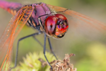 A close-up of a beautiful dragonfly Stock Photo