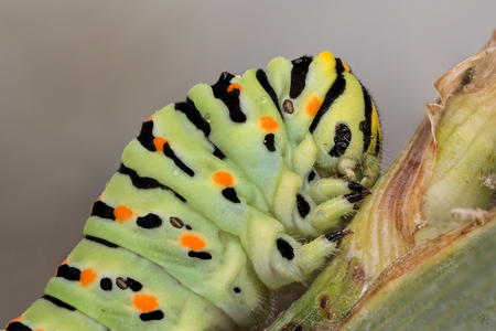 A closeup of a beautiful Machaon caterpillar