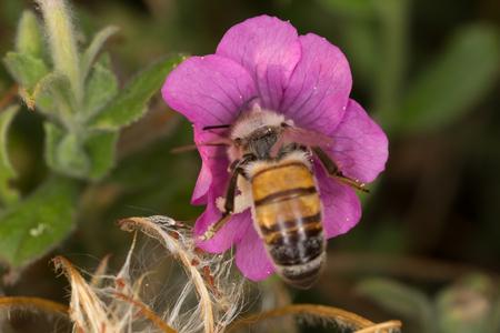 A beutiful bee, apis mellifera, working on flower Imagens