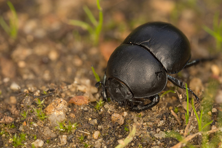 A species of dung beetle in the field Фото со стока