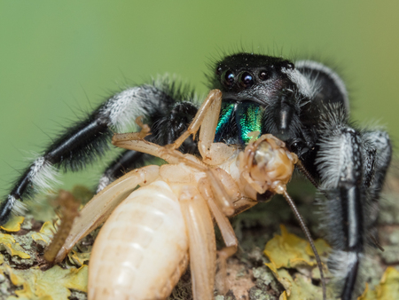 Male Phidippus regius adult feeding on a house cricket