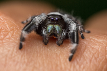 A close portrait of a beautiful jumping spider of the species Phidippus regius Stock Photo