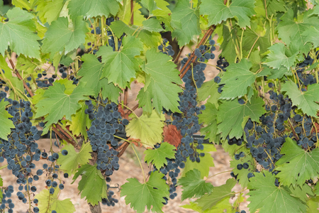 Bunches of black grapes in a small local vineyard ready for the grape harvest. Stockfoto