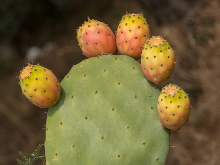 Prickly pear cactus close up with fruit