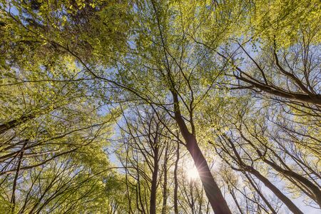 Canopy of deciduous forest in springtime