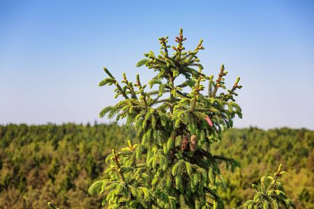Treetop of a spruce tree in summer