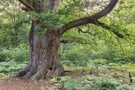 Od oak tree in deciduous forest Zdjęcie Seryjne