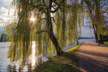 Weeping willow at alster lake in Hamburg
