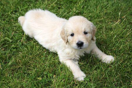 Golden retriever puppy lies on the grass