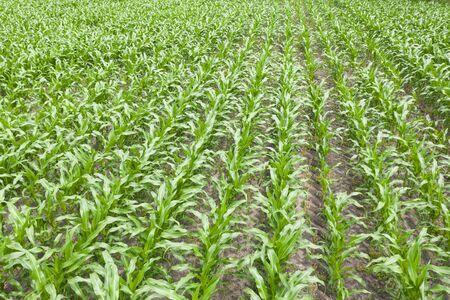 Texture of maize field