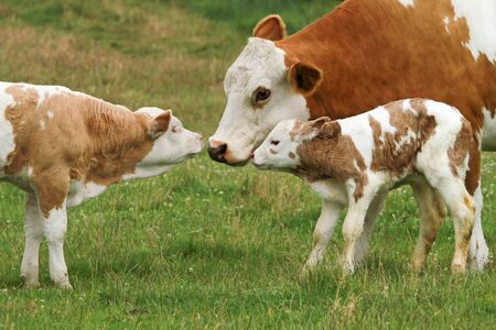 Mother cow with two generations of offspring