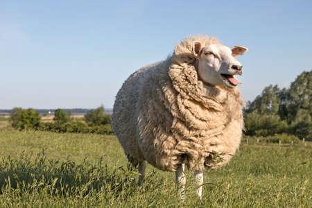 wool sheep mowing on the dike