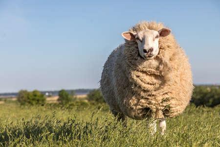 wool sheep standing on the dike