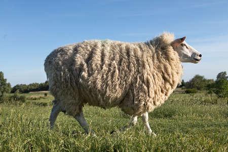 wool sheep walking on the dike
