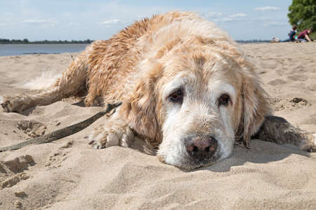 white dog chilling on the beach