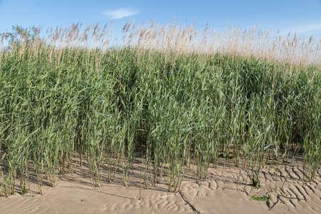 reed on the beach of river Elbe Zdjęcie Seryjne