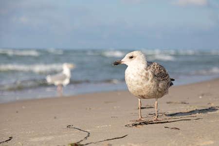 seagull on the beach of baltic sea