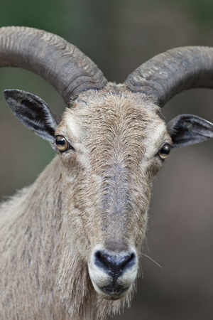 starring: Barbary Sheep