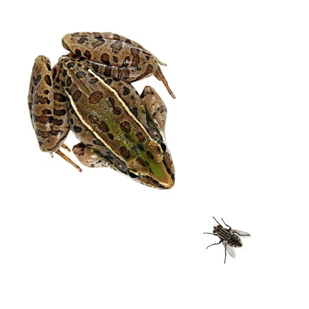Southern Leopard Frog and house fly on white.
