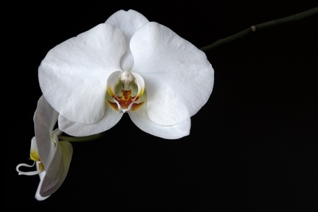 flowers black background: white orchid Stock Photo