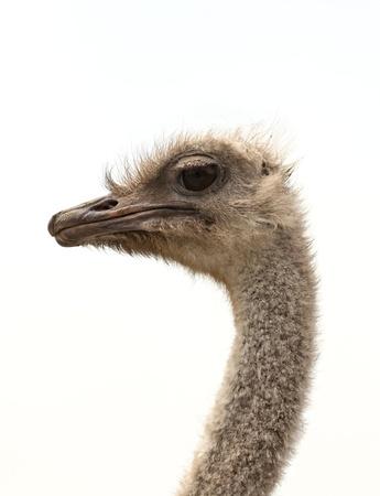 Ostrich head on white