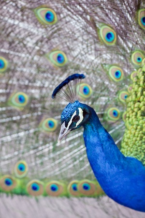 blue peafowl: Peacock open feathers