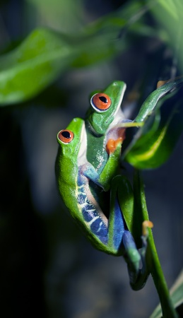red eyed leaf frog: Mating Red-Eyed Tree Frogs Stock Photo