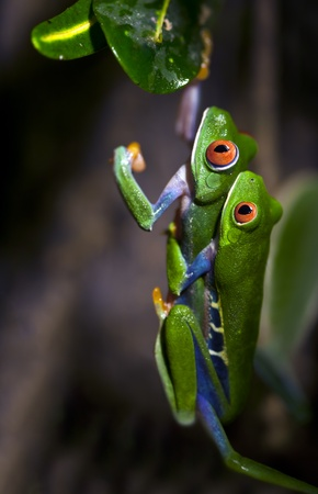 eyeing: Mating Red-Eyed Tree Frogs Stock Photo